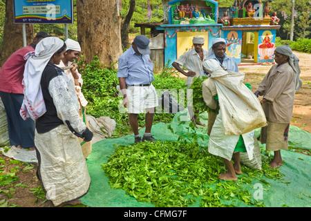Les femmes Tamouls des plantations l'ensachage pesage et prisé par un thé Uva temple près de Ella dans les hauts Banque D'Images