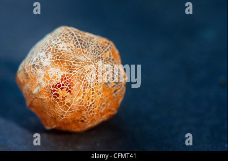 Physalis alkekengi 'Franchetii'. Lanterne chinoise en décomposition fruits papyracée cosse sur fond d'ardoise Banque D'Images