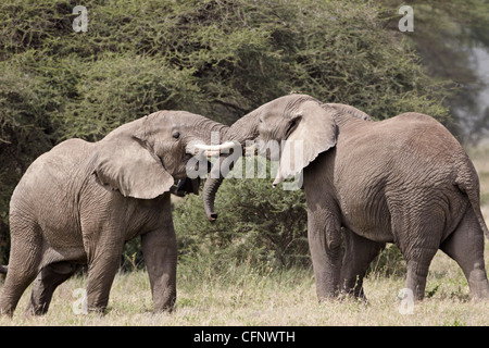 Deux African elephant (Loxodonta africana) sparring, Parc National de Serengeti, Tanzanie, Afrique orientale, Afrique du Sud