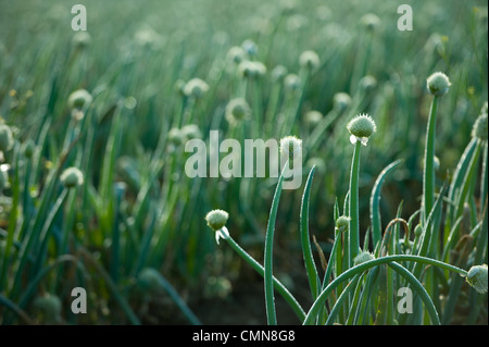 Oignons growing in field