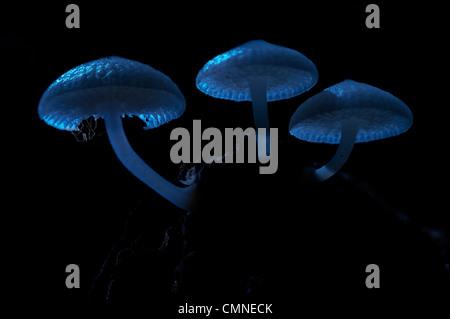 Les champignons lumineux par moonlight, avec petite araignée reposant sur le dessous. Des monts de la forêt moussue Banque D'Images