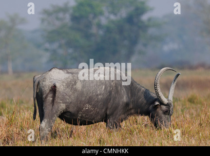 Wild Water buffalo (Bubalus arnee) Banque D'Images