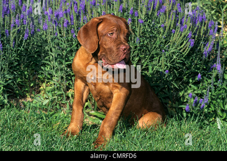 Années 1990 DOGUE DE BORDEAUX PUPPY DOG SITTING IN GRASS Banque D'Images