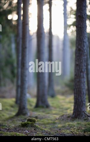 Les troncs des arbres dans les bois Banque D'Images