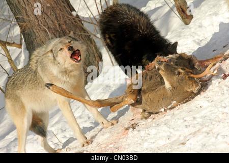 Le loup gris sauvages se nourrissent d'une carcasse de cerf (c'est un pack sauvages photographiés à partir d'une Banque D'Images