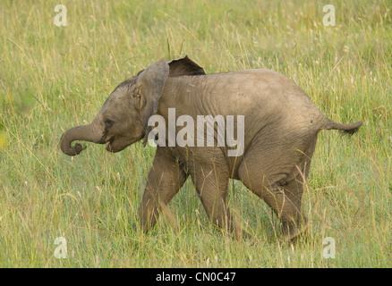 Bébé éléphant marche dans les plaines (Loxodonta africana) Banque D'Images