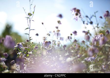 Fleurs sauvages Banque D'Images