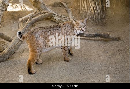 Lynx rufus, le lynx roux, commun à la Zoo Living Desert à Palm Springs, en Californie. Banque D'Images
