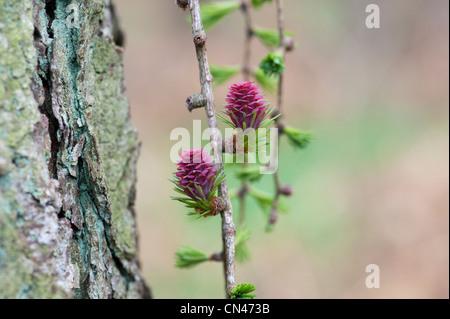 Larix decidua. Mélèze femelle fleur au printemps