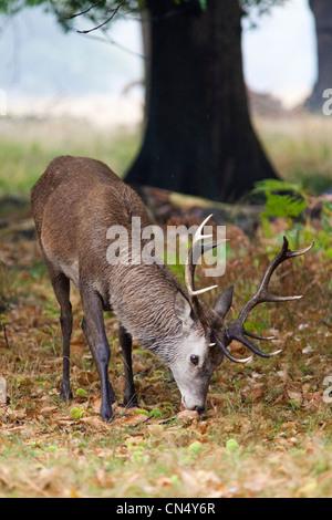 Red Deer stag - Cervus elaphus, Richmond Park, Royaume-Uni Banque D'Images