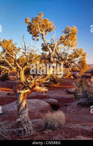La lumière du soleil sur le paramètre old weathered tree à Dead Horse Point State Park, Utah USA Banque D'Images