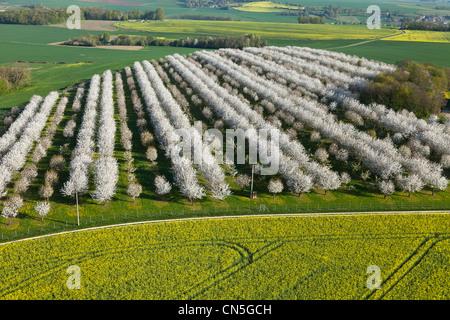 France, Val d'Oise, La Chapelle en Vexin, cerisiers en fleur (vue aérienne)
