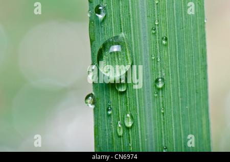 Goutte d'eau sur une feuille verte dans la nature vert frais Banque D'Images