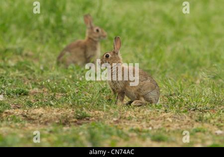 paire de lapins Banque D'Images