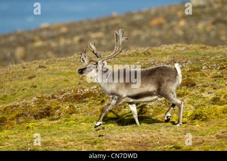 La Norvège, l'île de Spitsbergen, Svalbard, le renne (Rangifer tarandus) tournant sur la toundra dans les collines Banque D'Images