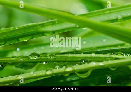 Les gouttes d'eau douce en pleine nature ou en forêt Banque D'Images