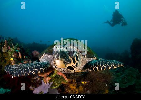 La tortue imbriquée, Eretmochelys imbricata, algues croissant sur sa carapace, nage sur une diversité de coraux. Banque D'Images