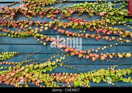 Les vignes colorées sur le mur, l'automne Banque D'Images