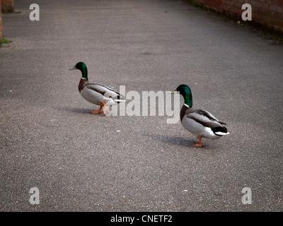 Deux canards traverser une route Banque D'Images