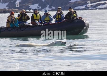 L'ours polaire (Ursus maritimus) adulte, natation en mer à côté de touristes en bateau gonflable Zodiac, Spitzberg, Banque D'Images