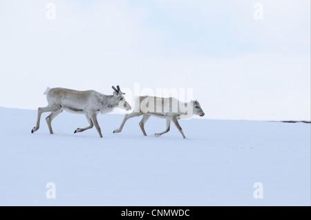 Le renne (Rangifer tarandus) et les jeunes adultes, s'exécutant sur la neige, Finlande, juin Banque D'Images