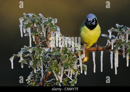 (Cyanocorax yncas Jay vert), des profils perché sur icy Agarita (Berberis trifoliolata) Direction générale, Dinero, Banque D'Images