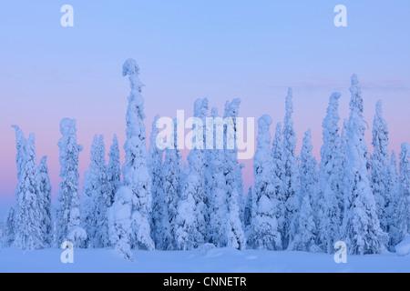 Les Épinettes couvertes de neige au crépuscule, Nissi, Ostrobotnie du Nord, en Finlande Banque D'Images