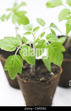 Lycopersicon esculentum. Les plants de tomates dans les premiers stades de croissance. Banque D'Images