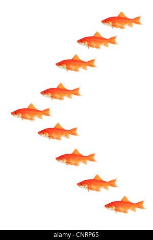 Le carassin, la carpe commune (Carassius auratus), beaucoup de natation goldfishes dans V Banque D'Images