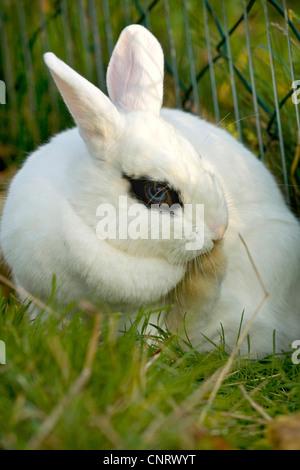 Lapin nain (Oryctolagus cuniculus f. domestica), lapin nain blanc avec des yeux noirs et les yeux bleus du cercle le toilettage