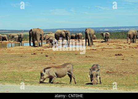 L'éléphant africain (Loxodonta africana), troupeau d'éléphants et le phacochère à un étang à Addo Elefant Park, Banque D'Images