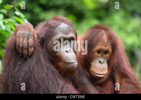 Orang-outan, l'orang-outan, l'orang-outang (Pongo pygmaeus), deux personnes se serrant Banque D'Images