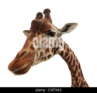 Curieux funny girafe Banque D'Images
