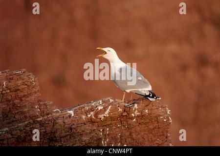 Goéland argenté (Larus argentatus), appelant en étant debout sur un rocher, l'Allemagne, Helgoland