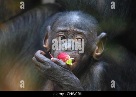 Bonobo, chimpanzé pygmée (pan paniscus), jeune bonobo de manger un fruit rouge Banque D'Images