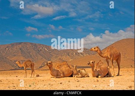 Un dromadaire, chameau (Camelus dromedarius), troupeau en désert, Oman Banque D'Images