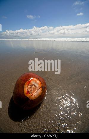 Coconut à Playa Grande, une longue plage de sable près de Montezuma, Péninsule de Nicoya, Costa Rica, Amérique Centrale Banque D'Images