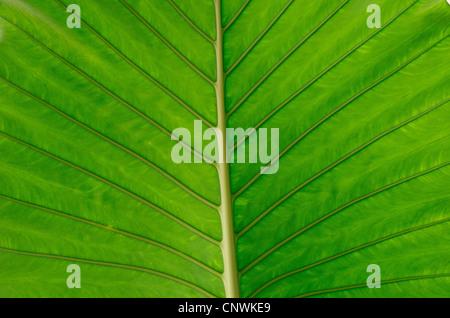 La texture d'une feuille verte en arrière-plan Banque D'Images