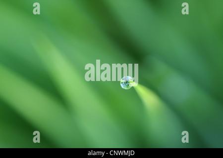 Goutte de rosée en haut d'un brin d'herbe, Allemagne Banque D'Images
