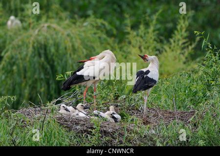 Cigogne Blanche (Ciconia ciconia), paire dans un nid plein d'oisillons accueillant chaque autres au retour de l'un Banque D'Images