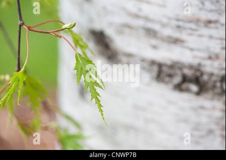 Betula pendula dalecarlica. Bouleau feuilles coupées suédois Banque D'Images