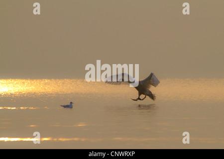 Mute swan (Cygnus olor), l'atterrissage sur ive feuille dans soleil du soir, l'Allemagne, Bavière, Chiemsee