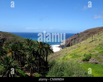 Île des Canaries (Phoenix canariensis), Palm groupe dans un barranco, Canaries, Gomera Banque D'Images
