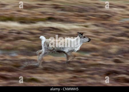 Le renne (Rangifer tarandus) tournant sur la toundra en été, Jaemtland, Suède Banque D'Images