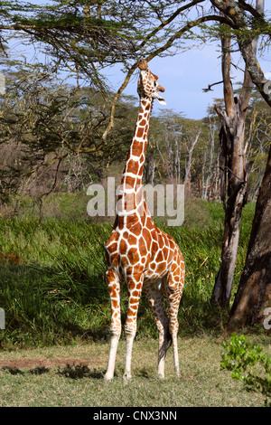 Giraffe réticulée (Giraffa camelopardalis reticulata), les étirements et l'alimentation du haut des branches d'un arbre, Kenya, Sweetwaters Game Reserve