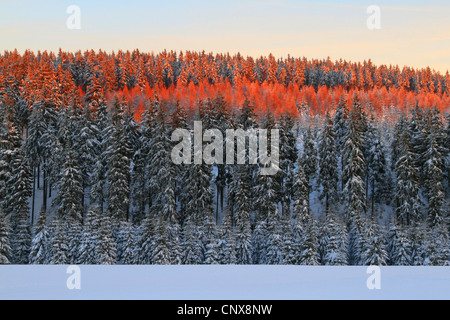 L'épinette de Norvège (Picea abies), forêt de sapins couverts de neige avec la cime des arbres de rouge le soleil Banque D'Images
