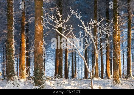 La lumière du soleil du matin illumine un bois de pins couverts de neige, évêque Morchard, Devon, Angleterre. Hiver Banque D'Images
