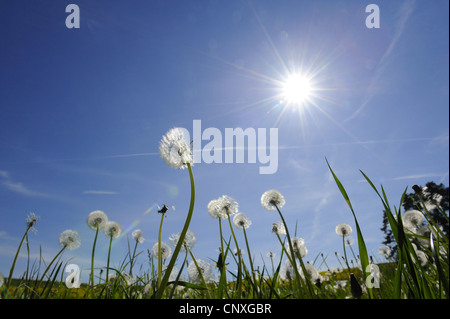 Le pissenlit officinal (Taraxacum officinale), la fructification des pissenlits à la lumière du soleil, de l'Allemagne, la Bavière