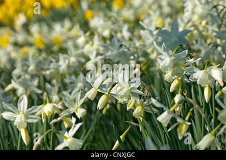 Gros plan des jonquilles narcissi crème blanche jaune narcisse fleur Fleurs fleuries dans le jardin de printemps Angleterre Royaume-Uni GB Grande-Bretagne