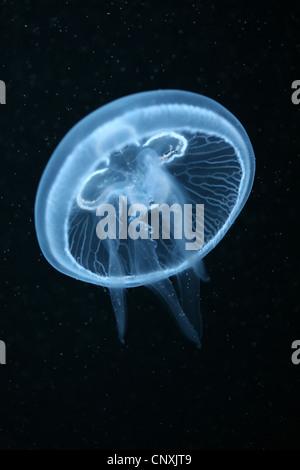 Moon jelly fish (Aurelia aurita) aquarium à Berlin, Allemagne. Banque D'Images